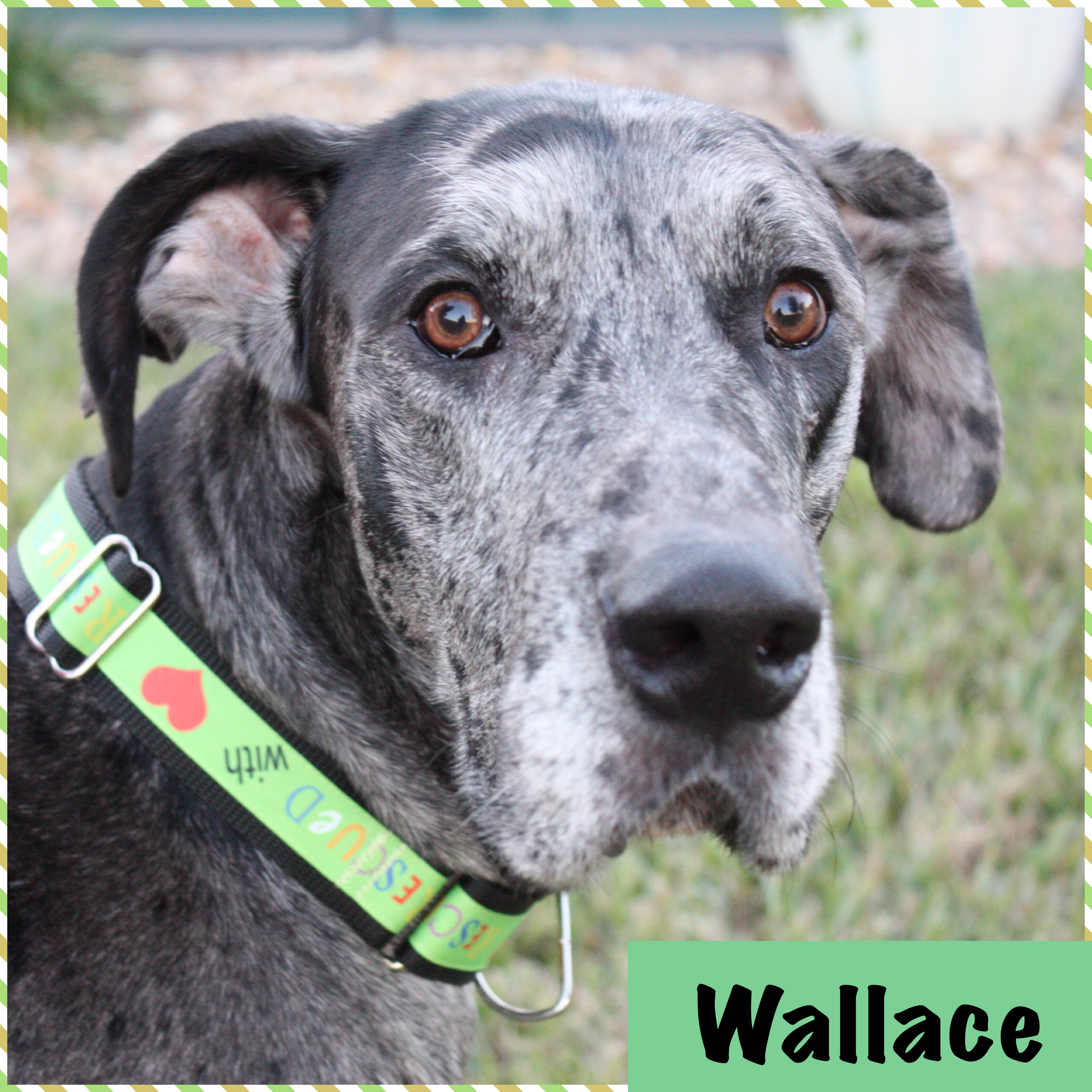 Wallace announce