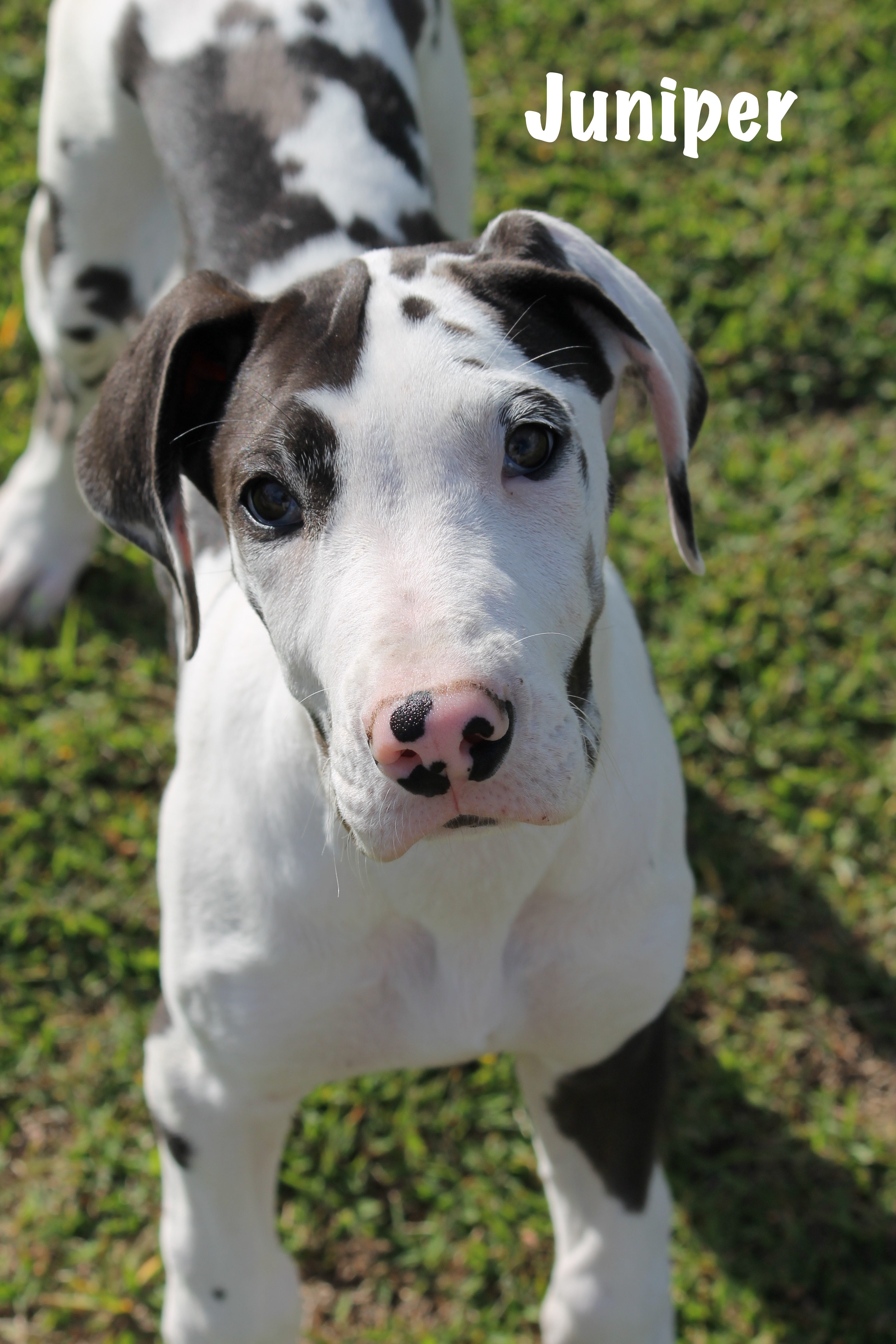 Juniper announce | Great Dane Love – A Central Florida ...